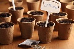 种植莴苣 免版税图库摄影