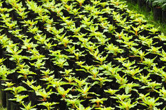 种田同样幼木排序 免版税库存照片