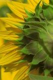 种田向日葵的后侧方的特写镜头 免版税库存照片