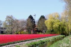种田和在郁金香之间的一windturbine,弗莱福兰省,东北圩田,荷兰 库存图片