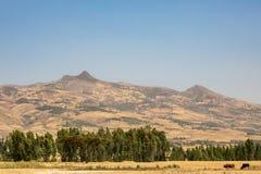 种田在农村埃塞俄比亚,干燥风景的鸡豆 库存图片
