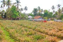 种田在喀拉拉印度的菠萝 免版税库存图片