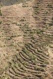 种田在埃塞俄比亚的Qat 免版税库存图片