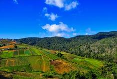 种田在山坡的圆白菜 免版税库存图片