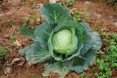 种田在山的圆白菜 免版税库存照片