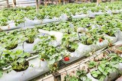 种田在有机盖和水灌溉系统的容器的草莓 免版税图库摄影