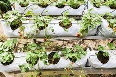 种田在有机盖和水灌溉系统的容器的草莓 库存图片