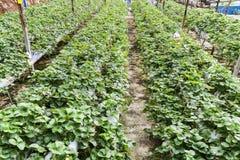 种田在有机盖和水灌溉系统的容器的草莓 库存照片