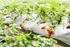 种田在有机盖和水灌溉系统的容器的草莓 免版税库存照片