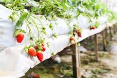 种田在有机盖和水灌溉系统的容器的草莓 图库摄影
