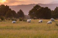 种田在绿色玻璃的绵羊与日落口气 库存照片