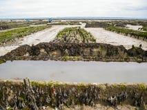 种田在英国的牡蛎 免版税库存图片