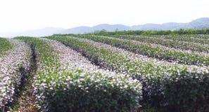 种田在茶园里在清莱 库存照片