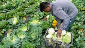 种田在金马仑高原,马来西亚的圆白菜 库存图片