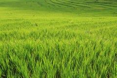 种田季节的大阳台绿色米领域 图库摄影