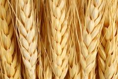 种田宏观麦子的农业概念 库存照片