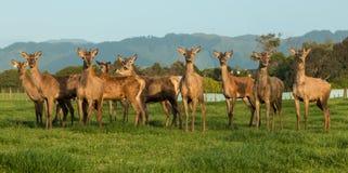 种田新西兰的鹿 库存照片