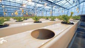 种田概念的Eco 关闭与绿色植物得到的两张花盆举起入孔在温室 股票视频