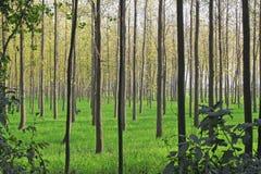 种田白扬树的农业耕种 库存照片