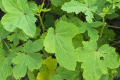 种田的秋葵植物 免版税图库摄影