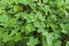 种田的秋葵植物 免版税库存照片
