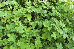 种田的秋葵植物 库存图片