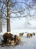 种田绵羊冬天的英国 免版税库存图片
