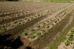 种田蔬菜 免版税库存图片