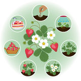 种田通过在图片的阶段的草莓 免版税库存照片