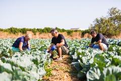 种田,从事园艺,农业和人收获圆白菜的概念家庭在农场的温室 家业 免版税库存照片