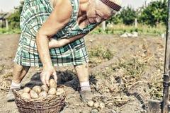 种田,从事园艺,农业,老人,女性,农夫,土豆,农厂庭院 库存照片