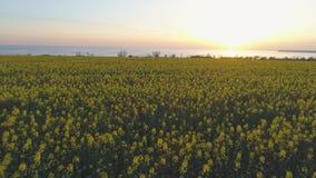 种田,黄色小花的美丽的开花的菜子草甸在日落,鸟瞰图 股票录像