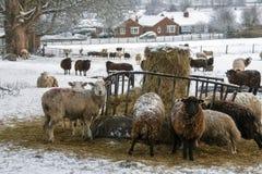 种田-家畜在冬天下雪 免版税库存图片
