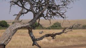种类一匹孤独的斑马通过在非洲大草原的死的树 股票视频