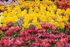 种类植物的郁金香花 免版税库存照片