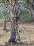 种类神圣的哈尔曼的猴子 免版税库存照片