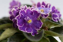 种类紫罗兰DS葡萄干采取与一个宏观透镜 免版税库存照片