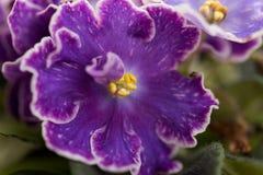 种类紫罗兰DS葡萄干采取与一个宏观透镜 库存图片