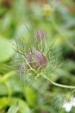 黑种草,纺纱妇女以绿色, Nigella damascena 库存照片