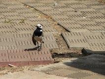 令科之鸟在公园 免版税图库摄影
