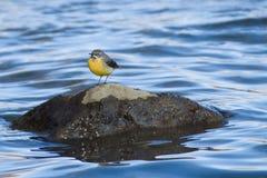 令科之鸟坐石头 库存照片