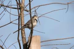 令科之鸟白色的峭壁接近的开会 免版税库存照片
