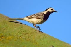 令科之鸟白色的峭壁接近的开会 免版税库存图片