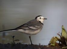 令科之鸟白色的峭壁接近的开会 库存图片
