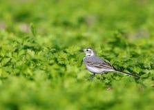 令科之鸟白色的峭壁接近的开会 库存照片