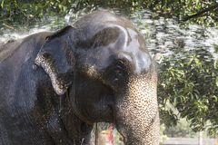 """科伦坡,斯里兰卡†""""2017年2月10日, :mahout清洗大象 库存图片"""