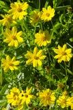 科塔tinctoria金黄延命菊、黄色春黄菊或者牛眼菊春黄菊花  库存照片