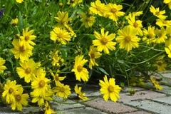 科塔tinctoria金黄延命菊、黄色春黄菊或者牛眼菊春黄菊花  库存图片