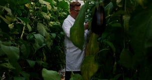 科学家审查的茄子自温室4k 影视素材