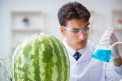 科学家测试西瓜在实验室 免版税库存照片